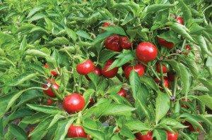 cherry paprika