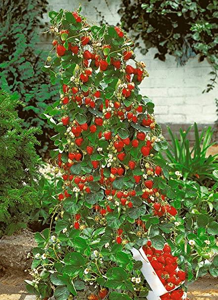 jagode sadnice
