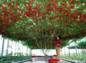 rajcica drvo